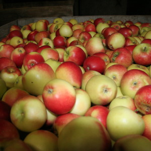 Fresh British Apples 7Kg – 9Kg
