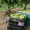 Kent Cobnuts in Union Jack hopper