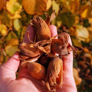 Golden Cobnut in Nut Orchard in November