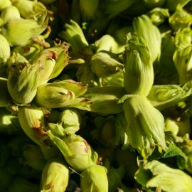 Beautiful Kentish Cobnuts from Roughway Farm