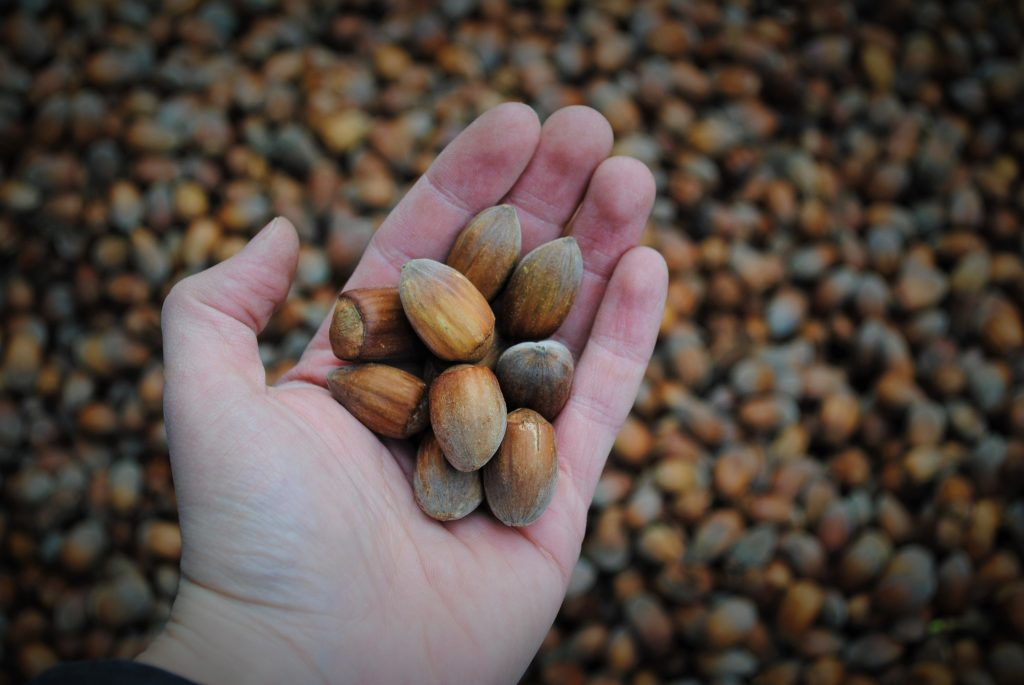 Dehusked Kent Cobnuts in handClose Up