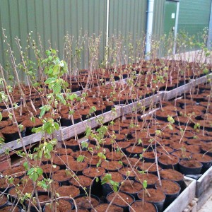 Kent Cobnut Trees (Bare Root / Small Pot)