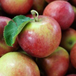 Crunchy and good storage magic star apple