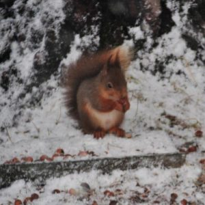 3kg, 20Kg – 140kg: Red Squirrel Cobnuts