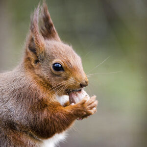 3kg, 20Kg – 140kg: Red Squirrel Cobnuts – Preorder