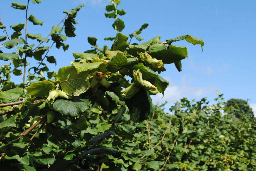 Collection of clustered Kentish cobnuts