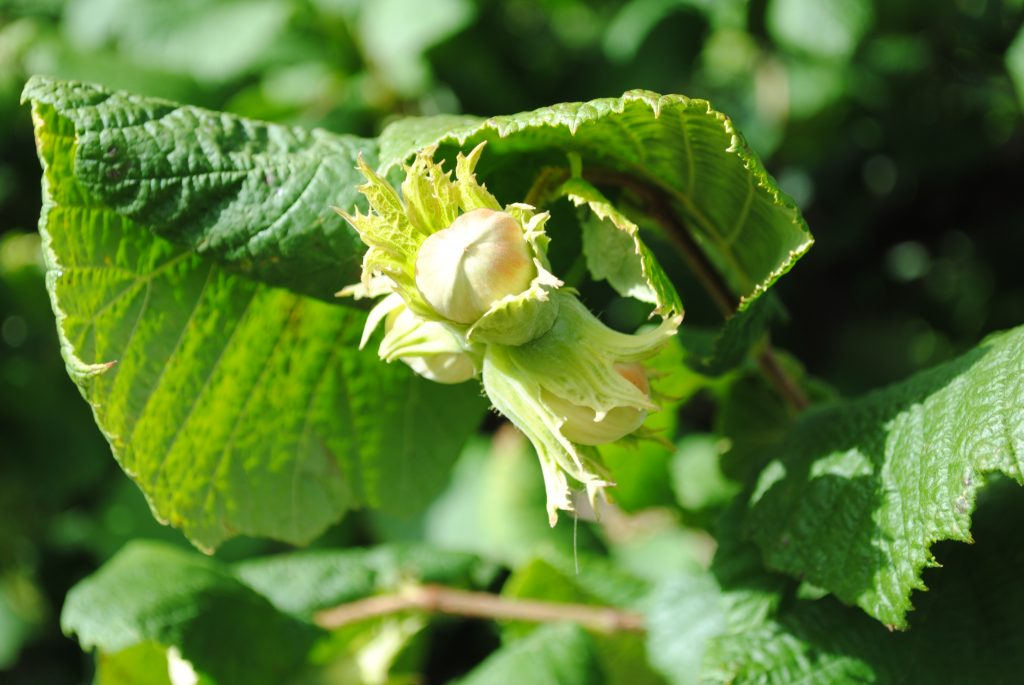 gunslebert cobnut in the sun shine