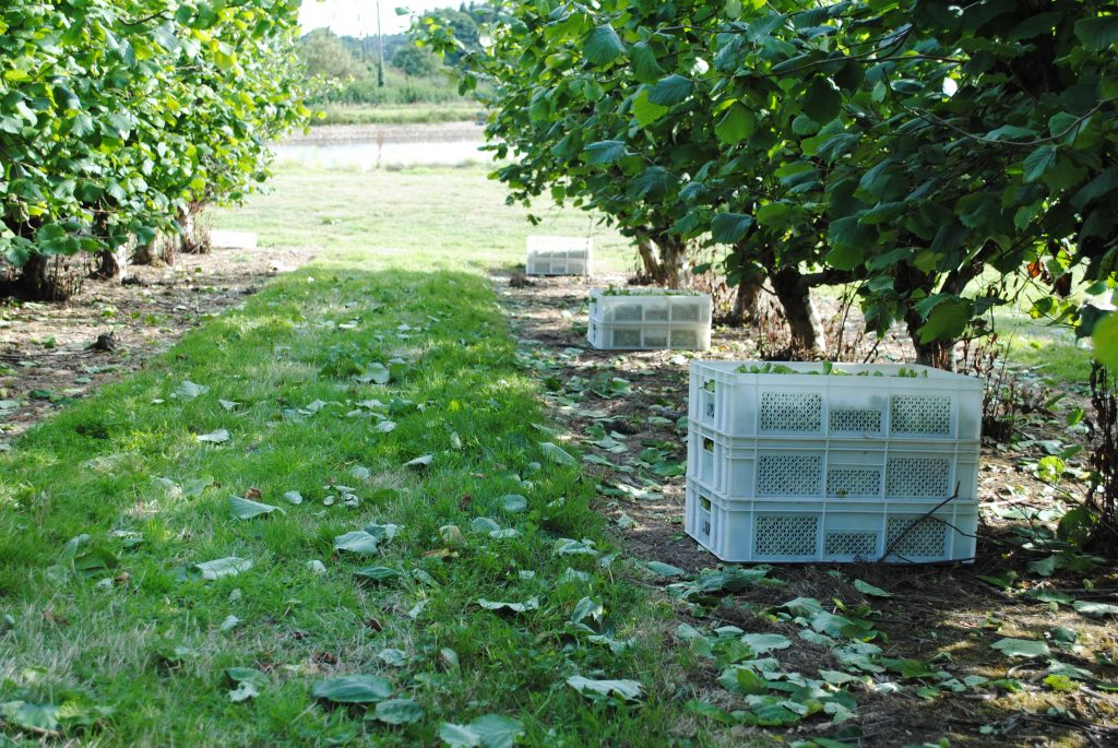 Cobnuts under a tree ready to be collected