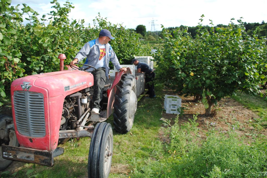 Tractor Kentish Cobnut Harvest 2016