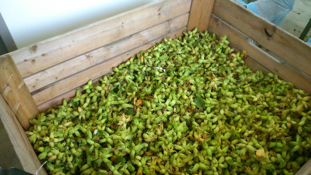 Large box of cobnuts