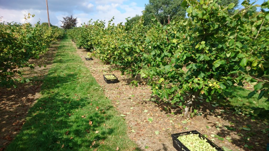 Kent Cobnuts in boxes during harvest time