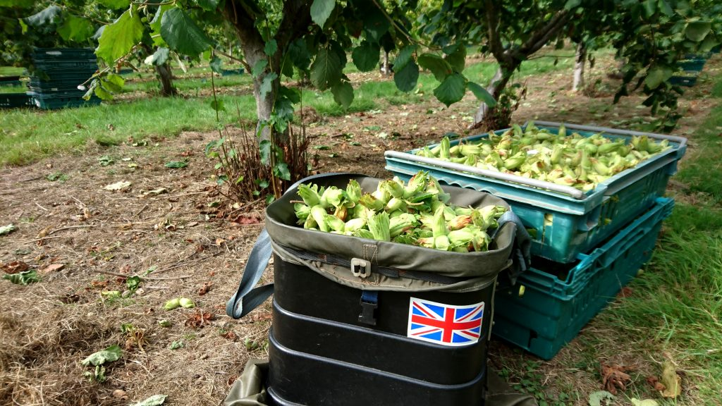 Kent Cobnuts at Roughway Farm