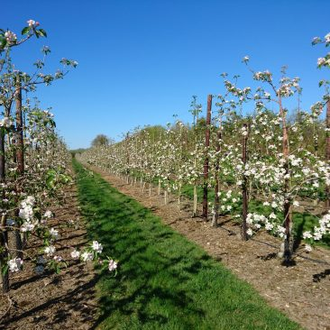 Apple orchard in blossom spring 2017
