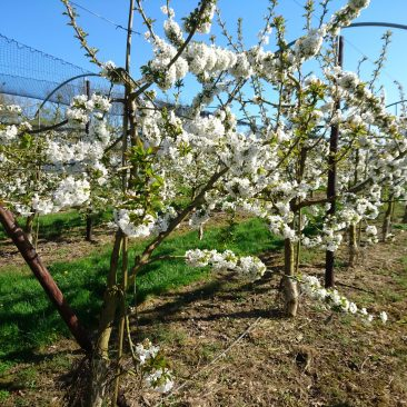 British Cherries in full blossom spring 2017