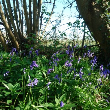 Hedge row bluebells
