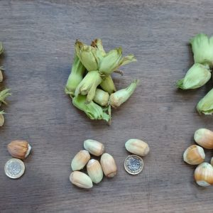 Cobnuts next to pound coin