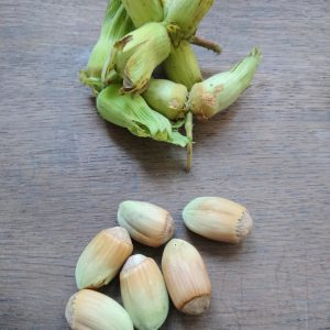 Kent Cobnuts in green husk and just in shell