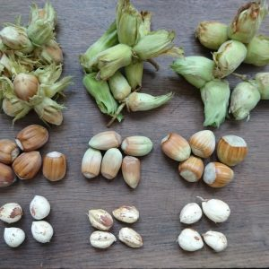 Different varieties of cobnut - Kent, Ennis, Gunslebert