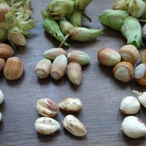 Three varieties of cobnut with kernels