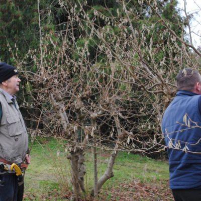 Older cobnut trees being pruned