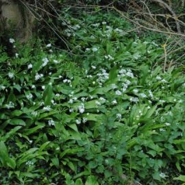 Patch of wild garlic at roughway farm