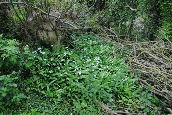 Tree stump and patch of wild garlic at roughway farm