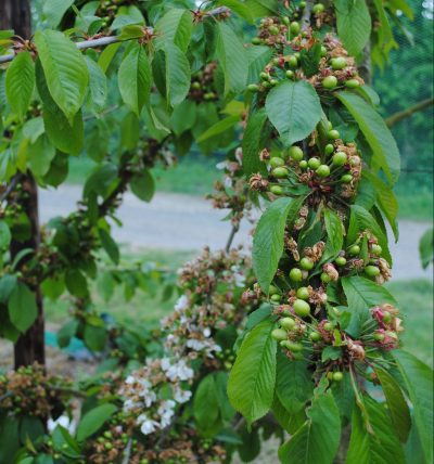 Developing Cherries on the tree