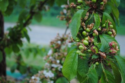 Early green cherries after blossom