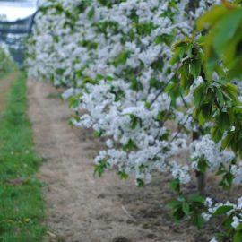 2019 cherry blossom