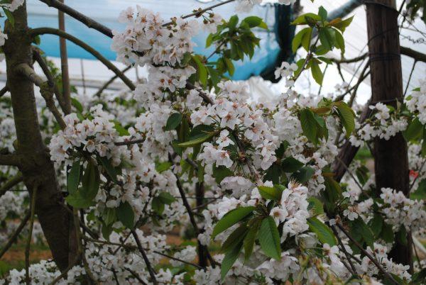 2019 roughwy farm cherry blossom