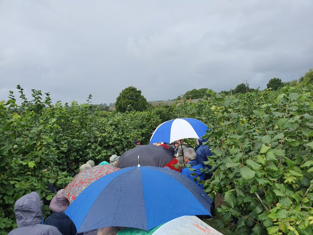 Rain and cobnut plat in Kent at Roughway Farm