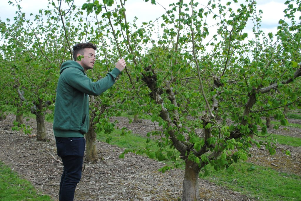 Tom inspecting early cobnuts