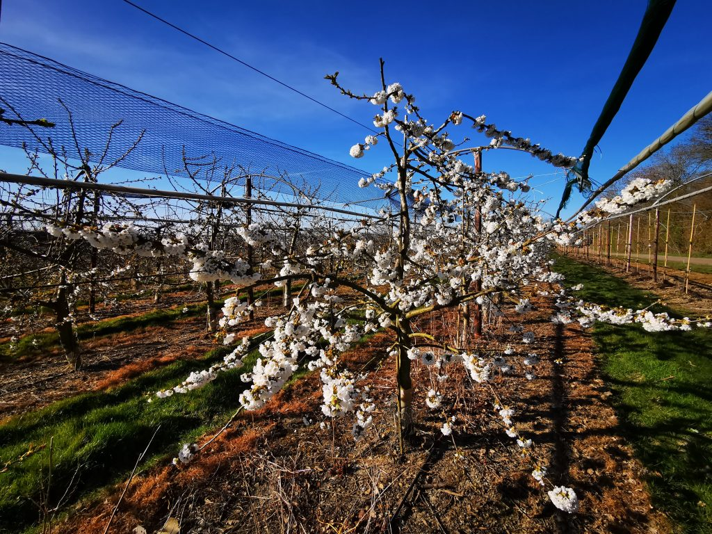 Cherry tree in blossom at Roughway Farm, Kent