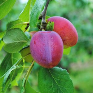 Kentish Plums from Roughway Farm, Plaxtol