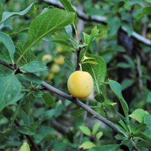 A Mirabelle Plum / Cherry Plum