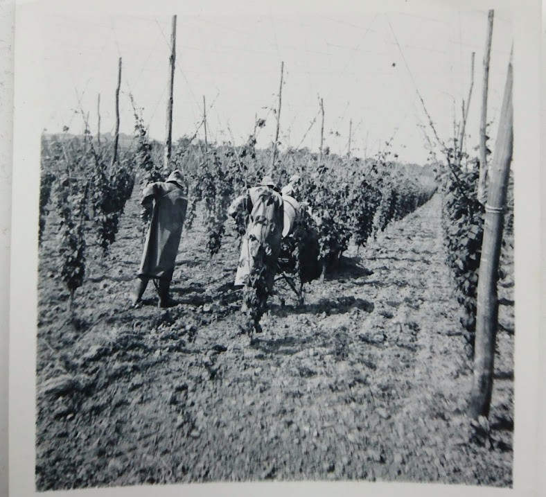 Preparing the hop garden – 1950s