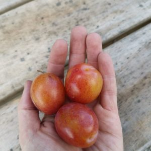 Handful of plums from Roughway