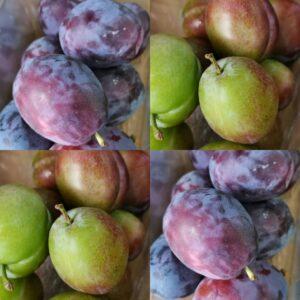 Late season plums Marjorie Seedling and top taste