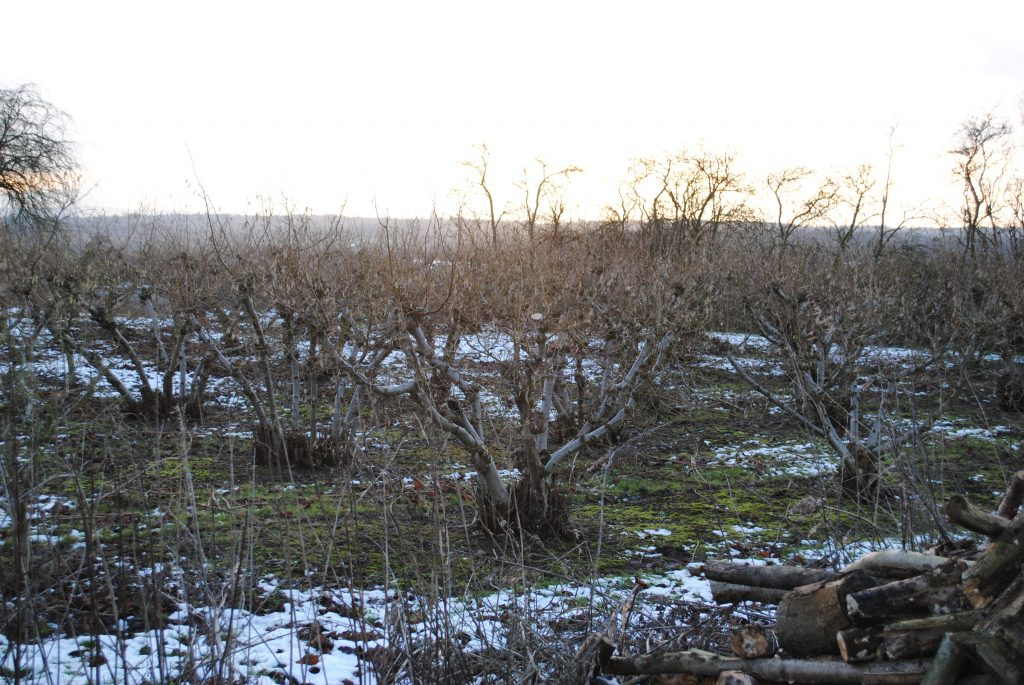A Kentish Cobnut Plat in winter with snow