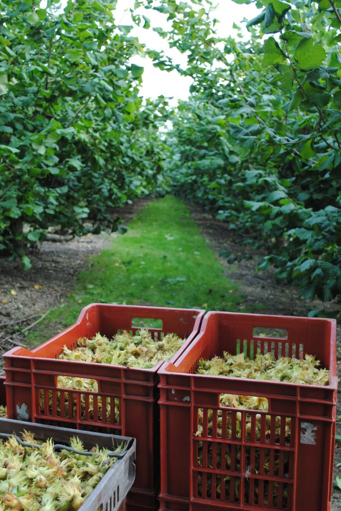 Gunslebert Cobnuts from Kent in a box being harvested in the field