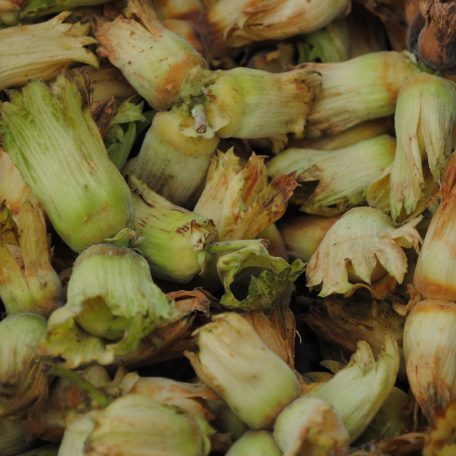 Close up of golden Kentish cobnuts from Roughway Farm