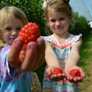 Lovely pick your own raspberries held to camera by two children