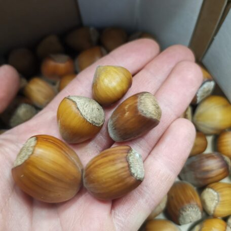 Handful of mixed varieity dehusked cobnuts